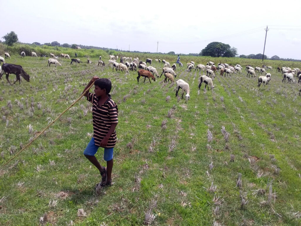 Ten-Year-Old Boy Freed from Goat Grazing